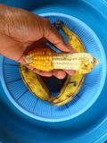 A EPIS OF MAIZE TOOTHLESS SURROUNDED BY TWO BANANAS Royalty Free Stock Image