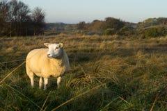 Epische schapen Royalty-vrije Stock Fotografie