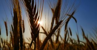 Epische Weizenfelddetails Stockfoto