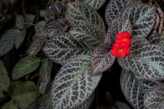 Episcia Cupreata beautiful red flower stock photos