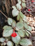 Episcia cupreata or flame violets Royalty Free Stock Photography