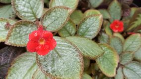 Episcia cupreata or flame violets Stock Images