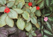 Episcia cupreata or flame violets Stock Photography