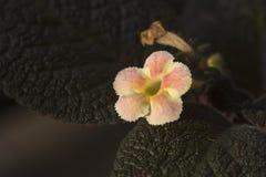 Episcia cupreata flower in the morning royalty free stock photos