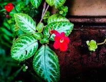 Episcia cupreata royalty free stock image