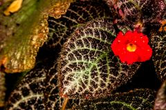 Episcia cupreata Hook. Hanst in garden. stock photography