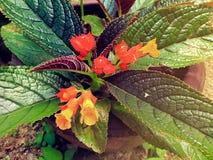 Episcia cupreata kwiat w ogródzie obrazy stock