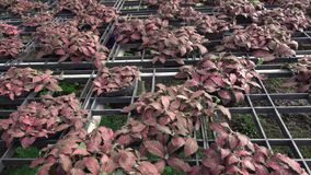 Episcia or Flame violet stock video footage