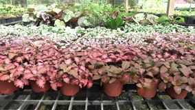 Episcia or Flame violet. Episcia cupreata Hook. Hanst flower stock video footage