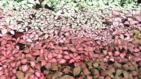 Episcia or flame violet. Episcia cupreata hook. Hanst flower stock video