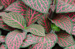 Episcia leaf background stock images