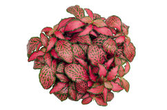 Episcia leaf. Isolated on white background Royalty Free Stock Image