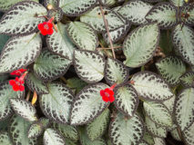 Episcia leaves or plant carpet with red flower. Garden with pattern of leaves of Episcia or plant carpet with red flower Royalty Free Stock Photo