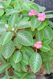 Episcia Lil Lemon plant with pink flowers Royalty Free Stock Photos