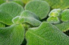 Episcia lilacina Lizenzfreies Stockfoto