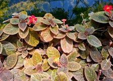 Episcia o gesneriaceae Immagini Stock Libere da Diritti