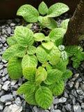 Episcia plant Royalty Free Stock Photos