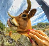 Episk ko fotografering för bildbyråer