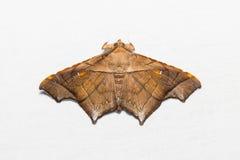 Episparis costistriga moth Stock Photography