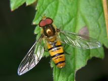 Episyrphus balteatus stockbild