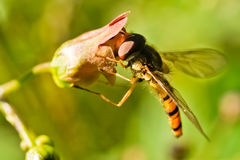 episyrphus balteatus hoverfly Стоковое фото RF