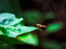 Episyrphus balteatus, marmalade hoverfly  stands on a green leaf. In a garden, Episyrphus balteatus, also called marmalade hoverfly stands on a green leaf Stock Images