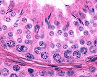 Epitélio germinal masculino Spermatogenesis imagem de stock