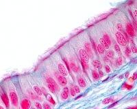 Epitelio respiratorio Foto de archivo