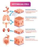 Epithelial διανυσματική απεικόνιση κυττάρων Ιατρική θέση και σημασία του διαγράμματος απεικόνιση αποθεμάτων