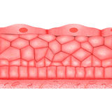 Epithelial silkespapper vektor illustrationer