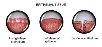 Epithelial tissue. types of epithelium. Vector illustration of epithelial tissue. types of epithelium Royalty Free Stock Image