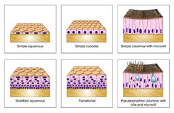 Epithelial types. The structure and formation of different types of epithelial tissue Royalty Free Stock Images