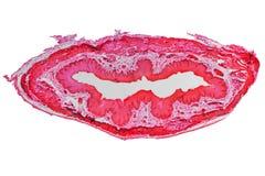 Epithelium micrograph Stock Photo