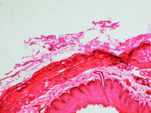 Epithelium micrograph Stock Image