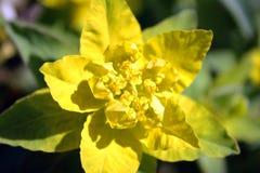 epithymoides大戟属绿色黄色 免版税库存照片