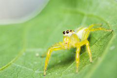 Epocilla Jumping Spider Stock Photography