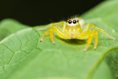Epocilla Jumping Spider Stock Image