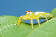 Epocilla Jumping Spider Royalty Free Stock Photo