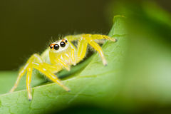 Epocilla Jumping Spider Stock Photos