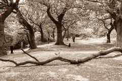 Epping lasu drzewa i spacery Obrazy Stock