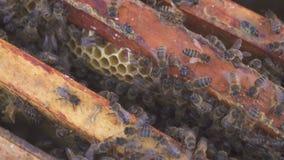 eps 8 πρόσθετος μελισσών κυψελωτός εικονογράφος μορφής Μελισσοκόμος συγκομιδών μελιού που απομακρύνει ήπια τις μέλισσες από το πλ φιλμ μικρού μήκους