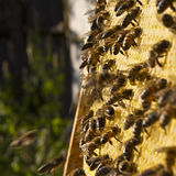 eps 8 πρόσθετος μελισσών κυψελωτός εικονογράφος μορφής Στοκ Φωτογραφίες