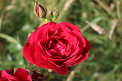 +EPS Rose et bourgeon rouges Images stock