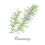 +EPS Rosemary Icon Selectieve nadruk royalty-vrije illustratie