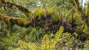 Epyfites su un ramo di albero nella foresta pluviale umida di Te Urewera Fotografie Stock