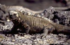 Equador: Галапагос-игуаны Стоковые Изображения