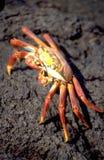 Equador: Огн-красный океан-краб на Галапагос-острове стоковые изображения
