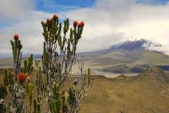 Equador 2008 - Cotopaxi e arbustos Fotografia de Stock