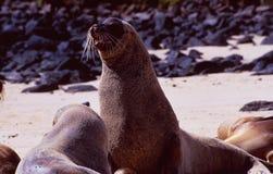 Equador: zeeleeuw bij het het Eilandstrand van de Galapagos royalty-vrije stock afbeelding
