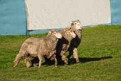 Equal rights for sheep concept. Three sheep running in step but looking like they are at a protest rally marching in unison. Large banner in background for copy Stock Images